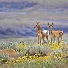 Pronghorn Twins 2 by Kim Barton