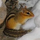Crap!  It's Still Winter (Eastern Chipmunk) by Robert Miesner