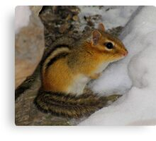 Crap!  It's Still Winter (Eastern Chipmunk) Canvas Print