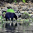 Wild black bear on the prowl by Darren Bailey LRPS