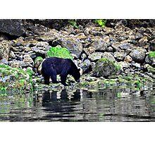 Wild black bear on the prowl Photographic Print
