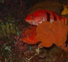 hawkfish on scorpionfish,hillarys deep reef by peterbeaton