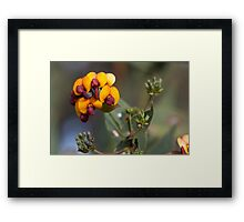 Yellow-eyed Flame Pea Framed Print