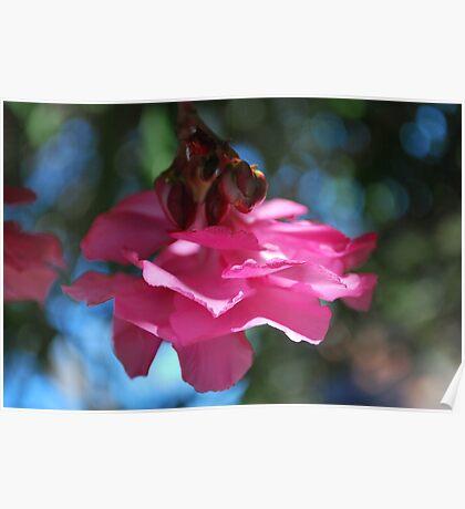 Oleander sweetness  Poster