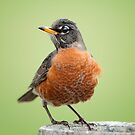 Mr. Robin poses for his portrait by Bonnie T.  Barry
