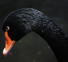 The Black Swan by Alyce Taylor