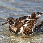 Ruddy Turnstone Bathing by naturalnomad