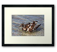 Ruddy Turnstone Bathing Framed Print