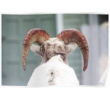 Rocky Mountain Sheep Poster