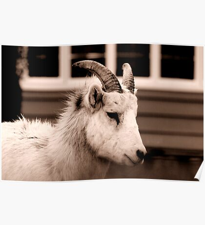 Rocky Mountain Sheep in Sepia Poster