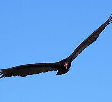Turkey Vulture in Flight by naturalnomad
