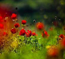 still love poppies by Victor Bezrukov