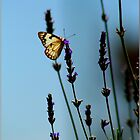 Butterfly on Lavender by elizegrundlingh