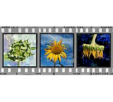 Sunflower Triptych (Click to view complete work) Photographic Print