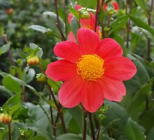 Simply Red -  Dahlia by 3Cavaliers