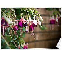 Fuchsia (pron. fewsha) Poster