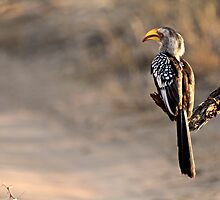 Southern Yellow-billed Hornbill by Shawn Peach