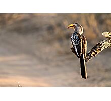 Southern Yellow-billed Hornbill Photographic Print