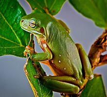 Australian Green Tree Frog, (Litoria caerulea) by Normf