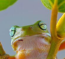 Australian Green Tree Frog, (Litoria caerulea) - Face by Normf