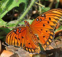 Gulf Fritillary butterfly up close by jozi1