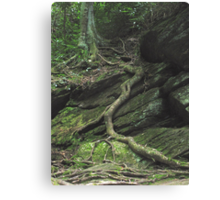 Gnarled Tree Roots - Smoky Mountains Canvas Print