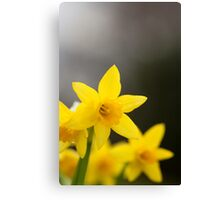Close-up Yellow Spring Daffodils Canvas Print