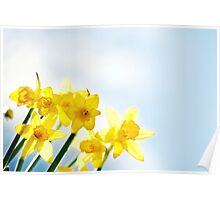 Close-up Yellow Spring Daffodils Poster