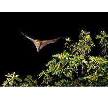 Grey Headed Flying Fox #1 Photographic Print