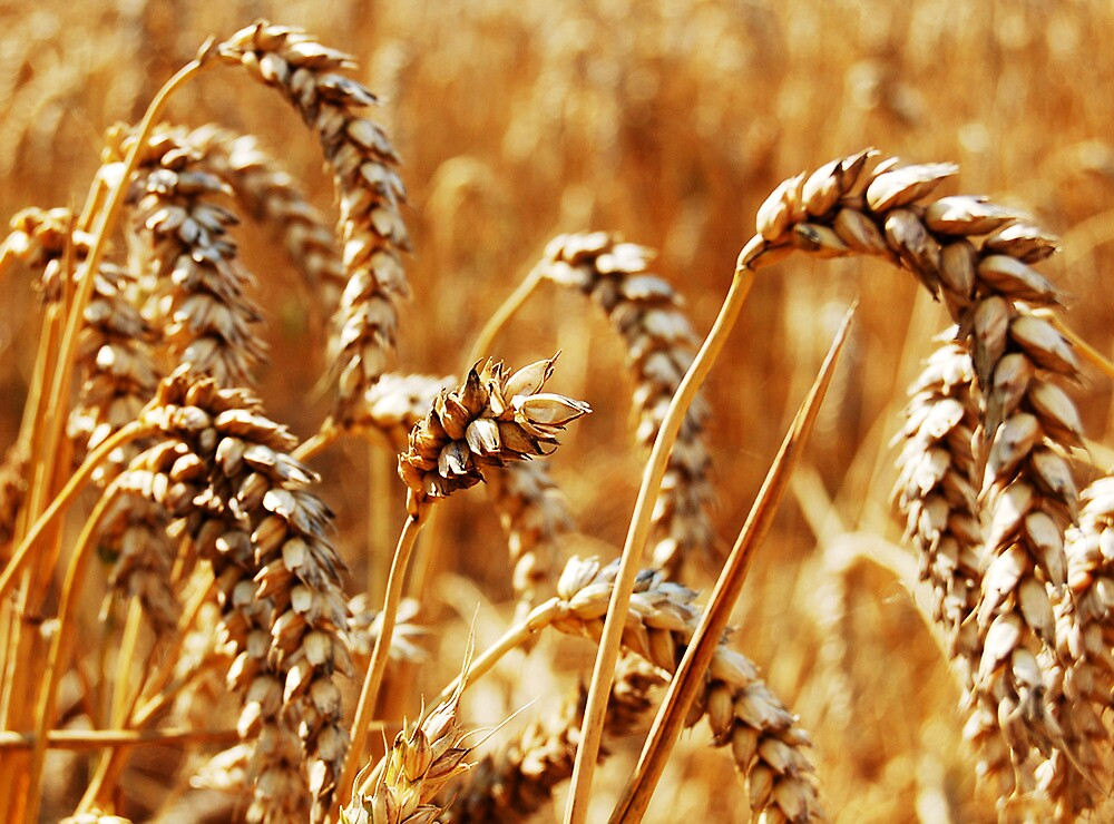 Warm Summer Days and Corn FIelds by Jason Grace