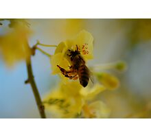 Pollen Gatherer Photographic Print
