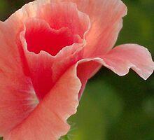 Peach Ruffles by Tracy Faught