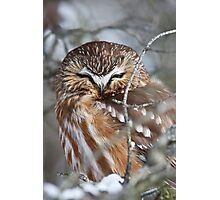 Northern Saw-Whet Owl Photographic Print
