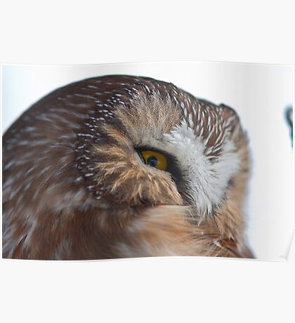 Northern Saw-Whet Owl Close up Poster