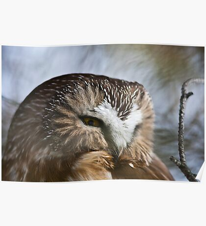 Northern Saw-Whet Owl Close up 2 Poster