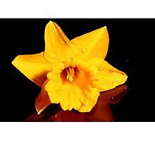 Daffodil on Reflection Photographic Print