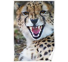 Cheetah with attitude Poster