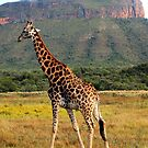 Giraffe, Entabeni Lodge, South Africa by Ludwig Wagner