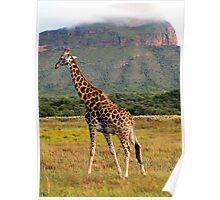 Giraffe, Entabeni Lodge, South Africa Poster