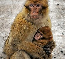 Barbary Ape with Baby in Moroccan Forest in the Snow by audramitchell