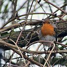 Robin Redbreast by Audrey Clarke