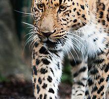 Leopard by CJTill