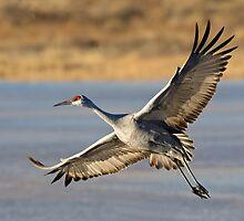 BIF Sandhill Crane 6 by kurtbowmanphoto