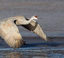 BIF Sandhill Crane 13 by kurtbowmanphoto