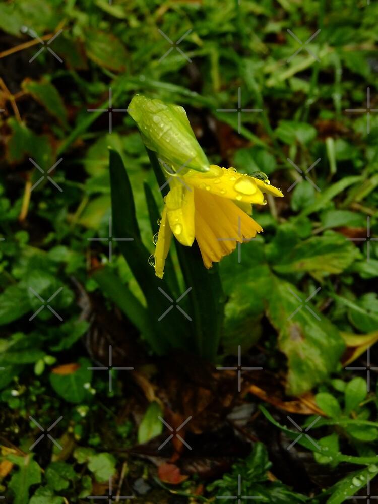 Mini-daffodil by Themis