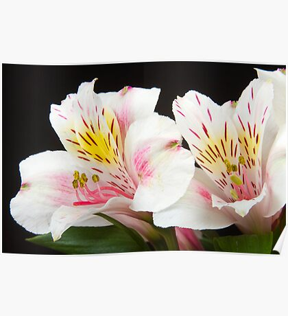 Peruvian Lilies Colorful Botanical Fine Art Print Poster