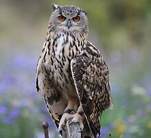 owl by stephen  barber