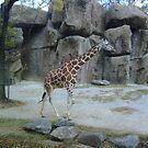 Baby Giraffe by YorksSherman