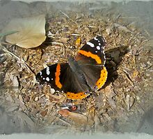 Red Admiral (Vanessa atalanta) Butterfly by MotherNature