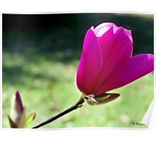 Tulip Tree Blossom - First Spring Blooms Poster